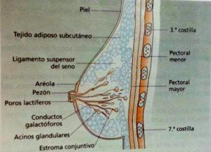 anatomia del seno